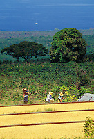 Kona coffee beans drying in the sun with workers in the background, Bay View Farms, Kealakekua