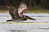 Brown Pelican, Elkhorn Slough, California