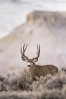 Mule deer buck during the autumn rut