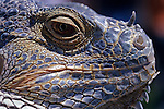 Iguana lizard at family reptile show close-up of face and scales, Seattle, Washington State USA.