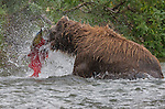 Brown bear catching a salmon, Katmai National Park, Alaska, USA
