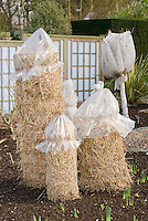 Protection of tender plants for winter with straw and chicken wire mesh and plastic