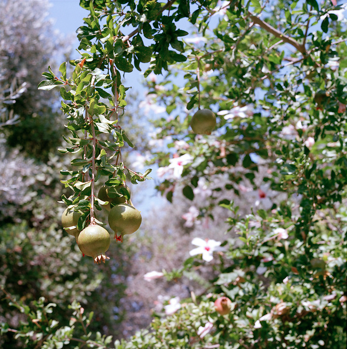 Pomegranates, Greece
