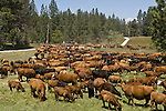 Greeley Hill, California May 12, 2008..Cattle drive from  Boneyard Creek on Priest Coulter road to Kasabaum  Meadow on Highway 120   Erickson Cattle company..Photo by Al GOLUB/Golub Photography