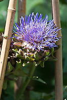 Globe Artichoke (Cynara cardunculus) in flower, growing in an edible landscape.