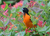 Courtesy photo/TERRY STANFILL<br /> ORIOLE IN SPRING<br /> A Baltimore oriole roosts in west Benton County. Terry Stanfill took the picture in April at his home near Decatur.