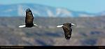 Bald Eagle Flight Study, Bosque del Apache Wildlife Refuge, New Mexico