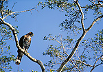 Ornate Hawk Eagle, Calakmul Biosphere Reserve, Mexico