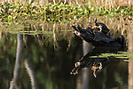 Brazoria County, Damon, Texas; a red eared slider turtle warms itself in the early morning sunlight while sitting on a submerged log in the slough