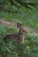 A snowshoe hare at Isle Royale National Park.