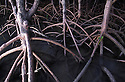 Australia, Queensland, Daintree National Park; Mangrove trees, roots partly submerged in ocean