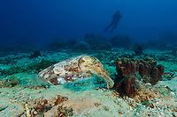Broadclub cuttlefish, Sangalaki, Kalimantan, Indonesia.