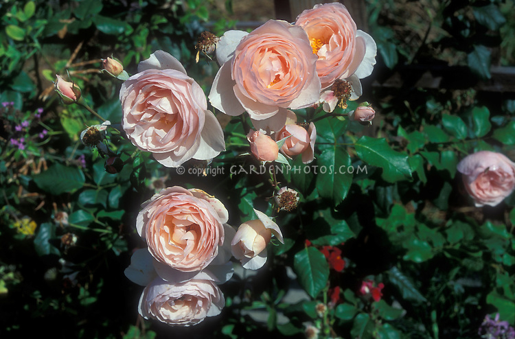 Rosa 'Heritage' Shrub Roses, pink salmon, highly fragrant flowers