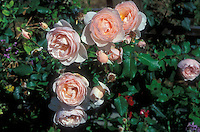 Rosa &lsquo;Heritage&rsquo; Shrub Roses, pink salmon, highly fragrant flowers