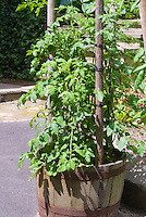 Tomato vegetables growing in half barrel  planter pot container with pole trellis staking