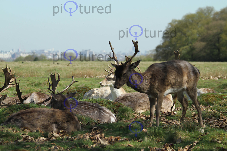 Grazing deer in Richmond Park, London, UK, 08 April 2011:  Contact: Rich@Piqtured.com +44(0)7941 079620 (Picture by Richard Goldschmidt)