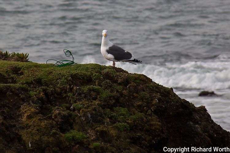 "It is easy to imagine this Western gull casting an accusatory look and admonishing, ""Don't do this,"" as it stands next to a significant and potentially lethal hazard to birds, a piece of lost or discarded fishing line."