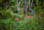 Scarlet and green-winged macaws fly over treetops, Tambopata region, Peru