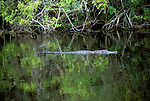 FL: Florida Everglades National Park, alligator.Photo Copyright: Lee Foster, lee@fostertravel.com, www.fostertravel.com, (510) 549-2202.Image: flever264