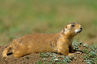 Utah Prairie Dog, Cynomys parvidens, Bryce Canyon National Park, Utah, AGPix_0653.