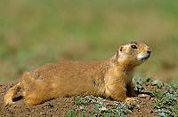 Utah Prairie Dog, Cynomys parvidens, Bryce Canyon National Park, Utah, AGPix_0653.