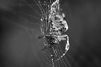 Getting up close to a feeding Spider in black &amp; white on his web
