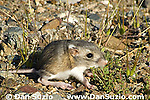 Merriam's kangaroo rat, Dipodomys merriami, Death Valley National Park, California