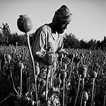 Afghans harvest the opium crop from their poppy fields in Jazah village, in the Arghandab valley, 09 May 2011. (John D McHugh)