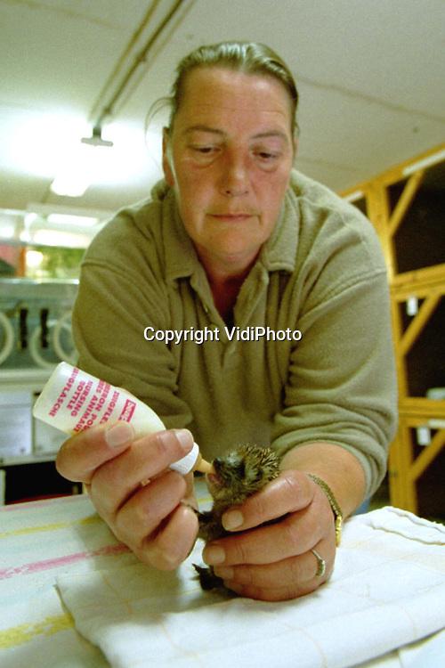 Foto: VidiPhoto..WOUDENBERG - Voor de dieren van de Regionale Vogelopvang Woudenberg is het iedere dag Dierendag. Een vijftal egelweesjes van enkele weken oud wordt door het vogelasiel liefdevol opgevangen en verzorgd. De diertjes zijn het slachtoffer geworden van bouwwerkzaamheden in Zeist. Hun hol werd omgewoeld, waarbij de moeder vermoedelijk is gedood. Een particulier heeft de beestjes vervolgens naar het vogelasiel gebracht. De vogelopvang heeft dit jaar een recordaantal dieren geholpen. Ooorzaak is volgens eigenaresse Helga Rosier, de toegenomen betrokkenheid van mensen bij het dierenleed. De meeste gewonde of zieke beesten worden door particulieren binnengebracht.