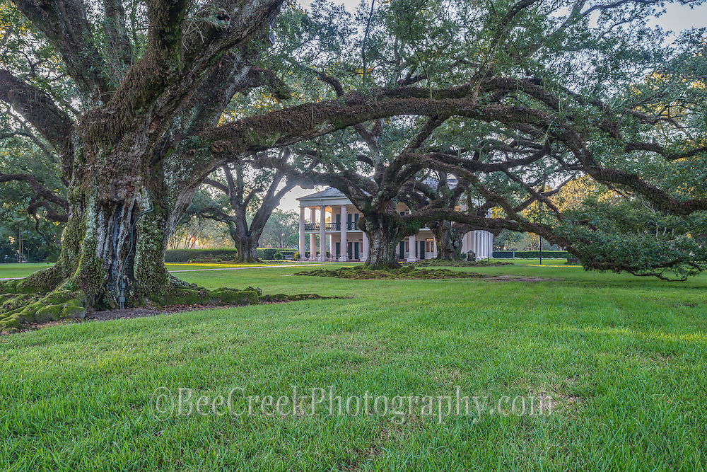These great oaks were massive and many were over 300 years old and were planted before the house and plantation existed.