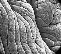 "Several of the furrows and folds or plicae palmatae in the mammal (rabbit) endocervix. SEM X130  3.5"" X 4.5""  **On Page Credit Required**"