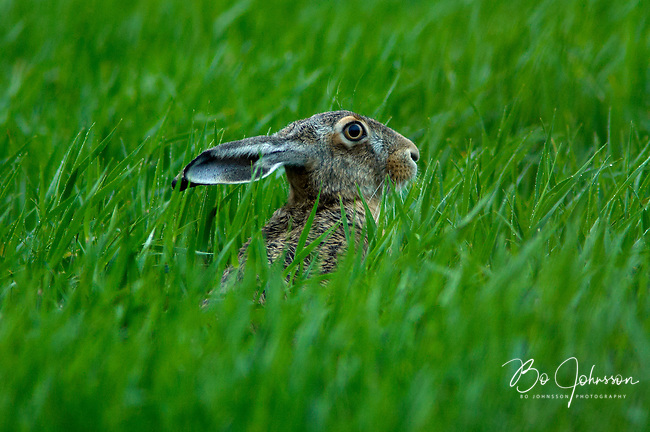 Brown hare (Lepus capensis) taking an evening rest in the light summer rain. In the spring and summer there are plenty of fresh crops in the farmer's fields, a favorite feeding spot for the hares. <br /> Hackeberga in southern Sweden.<br /> June 2005.