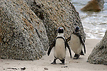 Africa, South Africa, Simons Town, Boulders Beach. African Penguin colony at Boulders Beach near Simons Town on False Bay.