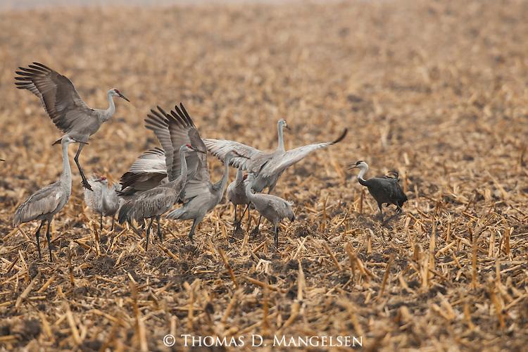 A hooded crane feeds in a  cornfield as sandhill cranes dance near the Platte River in Nebraska.