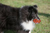 Shetland Sheepdog participating in Obedience trials