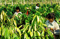 Workers pruning experimental cocoa plants.  Sabah, Borneo, Malaysia..