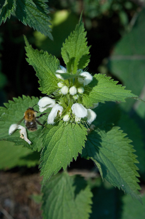 Bee on white dead-nettle (Lamium album), Surrey, early June.
