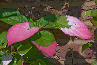 3 color leaves of Variegated Kiwi Vine, Actinidia kolomikta, showing pink red, green, white foliage closeup against brick wall