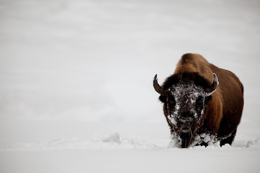 A single bison with a snow-covered face eats grasses it has uncovered in Yellowstone National Park.