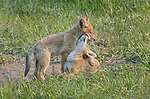 Coyote pups play affectionately near their den in Rocky Mountain National Park, Colorado. (Canis latrans)