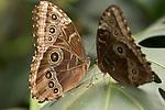 La Guacima de Alajuela, Costa Rica; two Blue Morpho Butterflies (Morpho peleides) sit wings folded on a leaf , Copyright © Matthew Meier, matthewmeierphoto.com All Rights Reserved