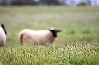 Fine Art photography taken of sheep grazing in the countryside of Santa Barbara, California. Photography by Kimberly Catherine Park of KCPhotography.