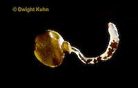 1Y01-171z Earthworm - cocoon, worm emerging