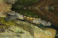 0215-1102  Ouachita Map Turtle Swimming Underwater (Sabine Map Turtle), Graptemys ouachitensis  © David Kuhn/Dwight Kuhn Photography