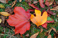 Fall Color, Maple and Sassafras Leaves on Ground