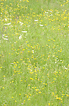 Spring grasses and flowers in meadow, Imst, Austria.
