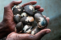 A Colombian man shows hands full of shellfish collected in the mangrove swamps on the Pacific coast, Colombia, 12 June 2010. Deep in the impenetrable labyrinth of mangrove swamps on the Pacific seashore, hundreds of people struggle everyday, searching and gathering a tiny shellfish called 'piangua'. Wading through sticky mud among the mangrove tree roots, facing the clouds of mosquitos, they pick up mussels hidden deep in mud, no matter of unbearable tropical heat or strong rain. Although the shellfish pickers, mostly Afro-Colombians displaced by the Colombian armed conflict, take a high risk (malaria, poisonous bites,...), their salary is very low and keeps them living in extreme poverty.