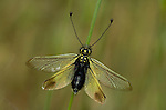Ascalaphid, Libelloides ictericus, on grass stem, wing outstretched and long antennae, Provence.France....
