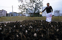 A duck farm Ho San village in Guangdong Province, South China. It has been suspected that the SARS epidemic spread from birds and animals to humans in similar conditions.