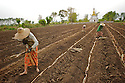 Farmers follow the plough posing sugarcane stems in the furrows.